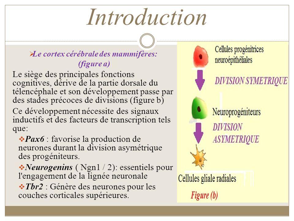 Introduction Le cortex cérébrale des mammifères: (figure a) Le siège des principales fonctions cognitives, dérive de la partie dorsale du télencéphale
