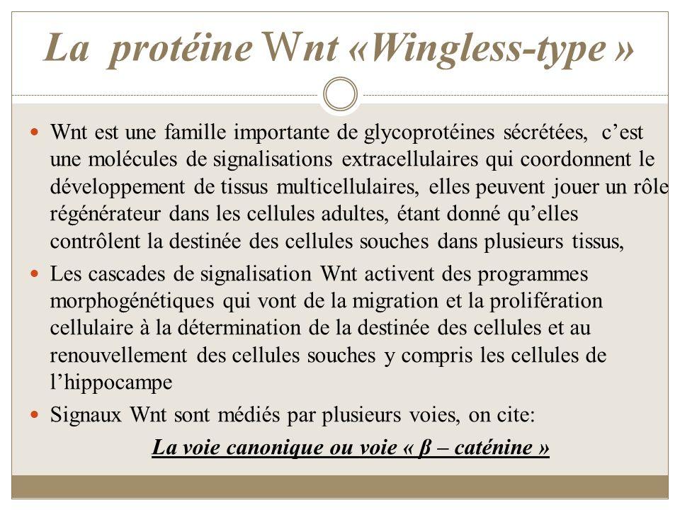 La protéine W nt «Wingless-type » Wnt est une famille importante de glycoprotéines sécrétées, cest une molécules de signalisations extracellulaires qu