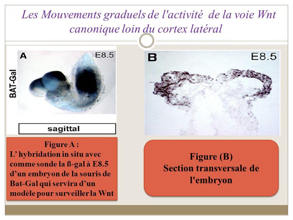 Les Mouvements graduels de l'activité de la voie Wnt canonique loin du cortex latéral Figure A : L hybridation in situ avec comme sonde la ß-gal à E8.