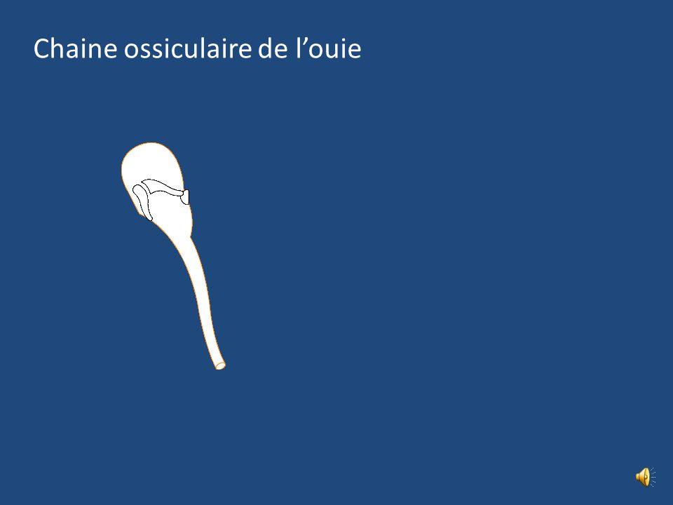 Cavité tympanique : Parois P membranacée lat = Mb du tympan P labyrinthique médiale P tegmentale sup = méninge de la fosse crânienne moy P jugulaire i