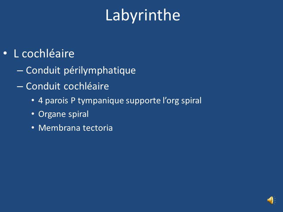 Labyrinthe membraneux L vestibulaire – Utricule et Saccule conduit endolymphatique, macules acoustiques, constituées dune lame fibreuse et dun épithél