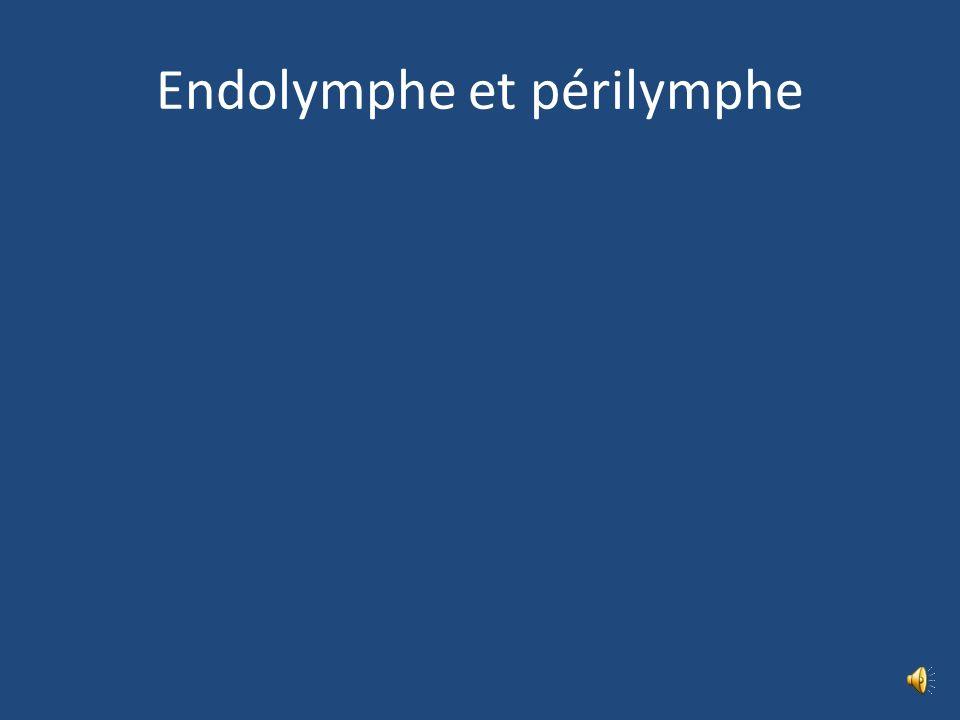 Labyrinthe L cochléaire – Conduit périlymphatique – Conduit cochléaire 4 parois P tympanique supporte lorg spiral Organe spiral Membrana tectoria