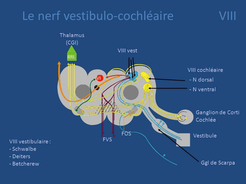 No cochléaires Sont beaucoup + latéraux au nb de 2 1 dorsal, 1ventral les protoneurones périphériques qui véhiculent des sensations sonores ont leur c