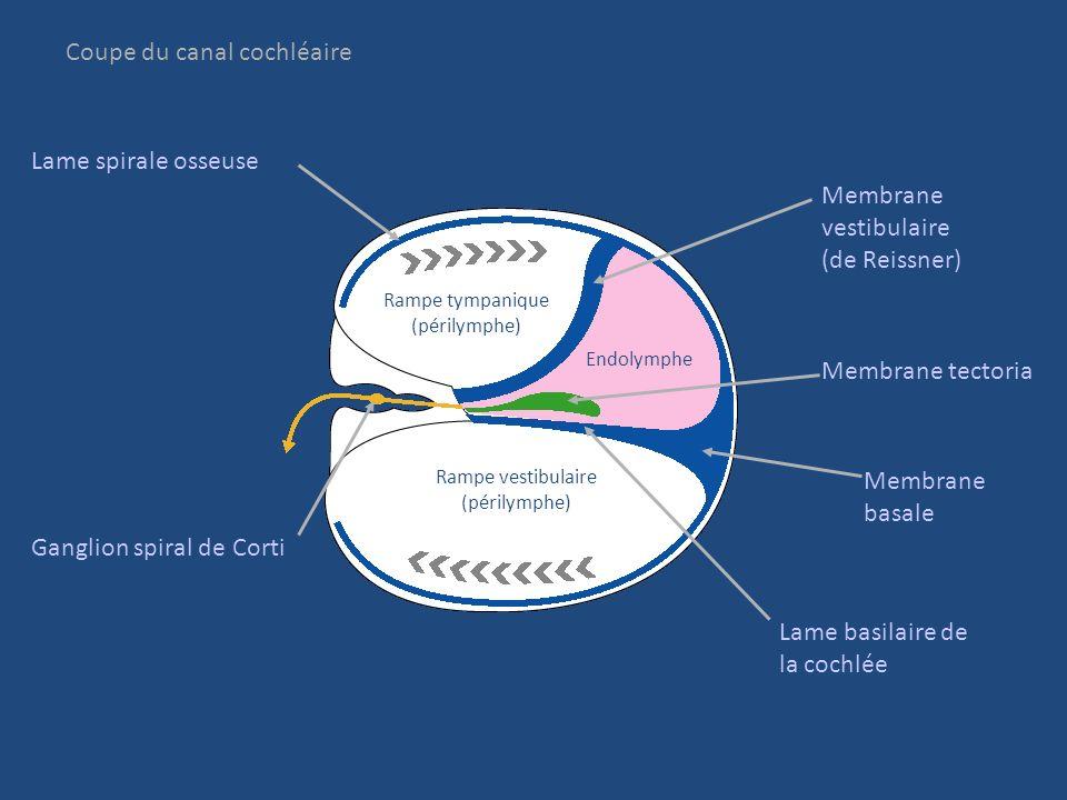 Canaux cochléaires VIII cochléaire Ganglion spiral de Corti Couche frontale de la cochlée