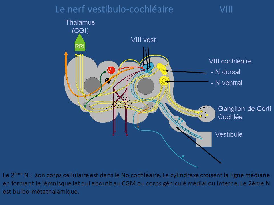 N. VIII cochléaire N. VIII vestibulaire Ganglion vestibulaire N. ampullaire postérieur N. utriculaire N. sacculaire Constitué par une chaîne de 3 neur