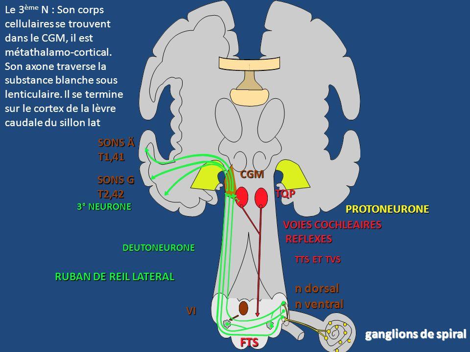 Le nerf vestibulo-cochléaireVIII Ganglion de Corti Cochlée Vestibule Thalamus (CGI) RRL VIII cochléaire - N dorsal - N ventral VIII vest VI Le 2 ème N