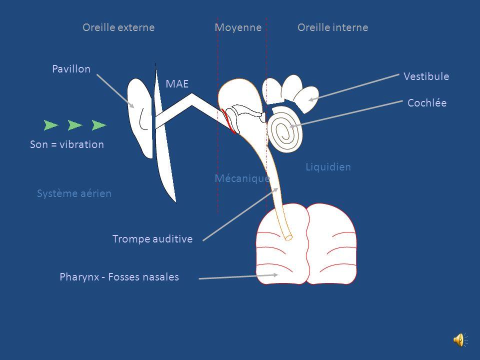 Organogénèse Placode otique Vésicule otique Capsule otique Placode auditive