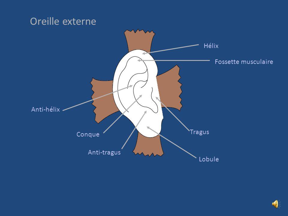 OREILLE EXTERNE Auricule Méat acoustique externe