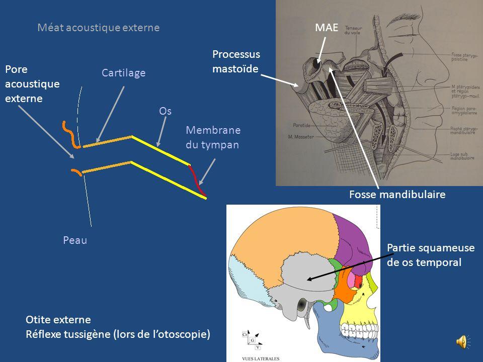 Hélix Oreille externe Lobule Fossette musculaire Tragus Anti-tragus Conque Anté-hélix Méat acoustique externe