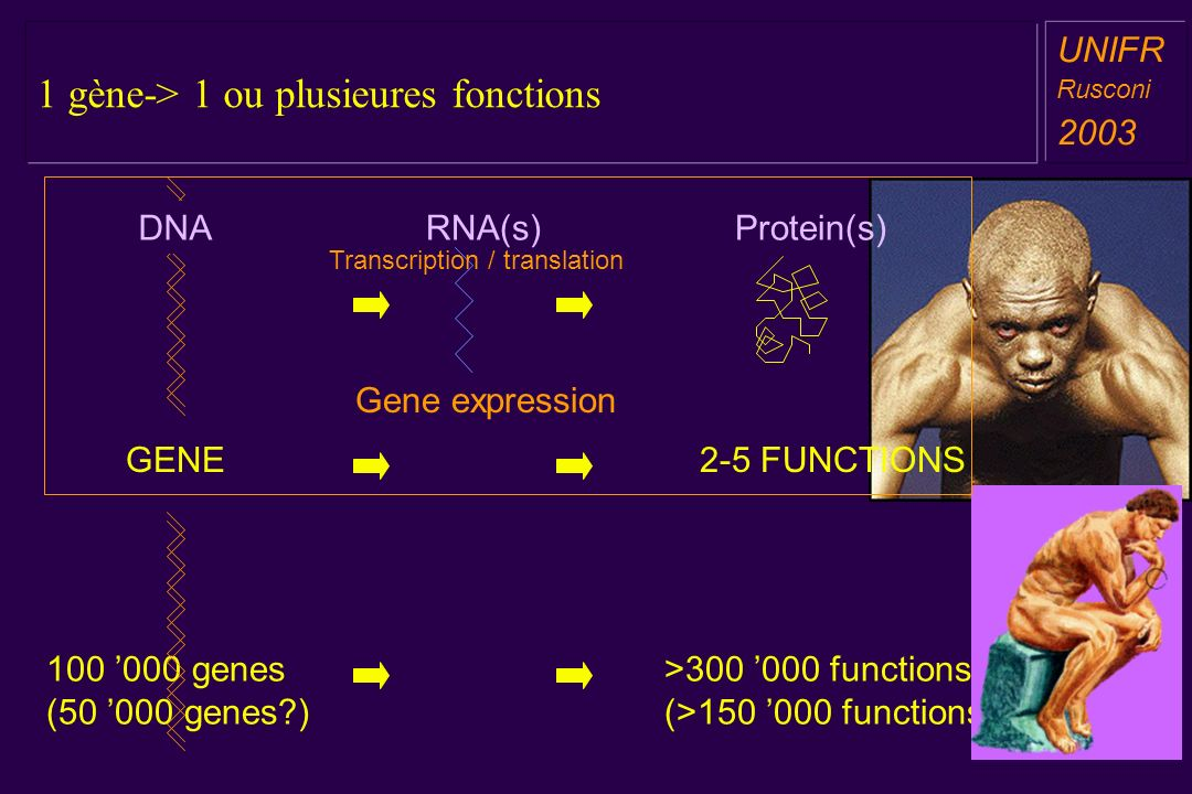 1 gène-> 1 ou plusieures fonctions a aa a aa UNIFR Rusconi 2003 RNA(s) DNA GENE Protein(s) 2-5 FUNCTIONS Gene expression Transcription / translation >