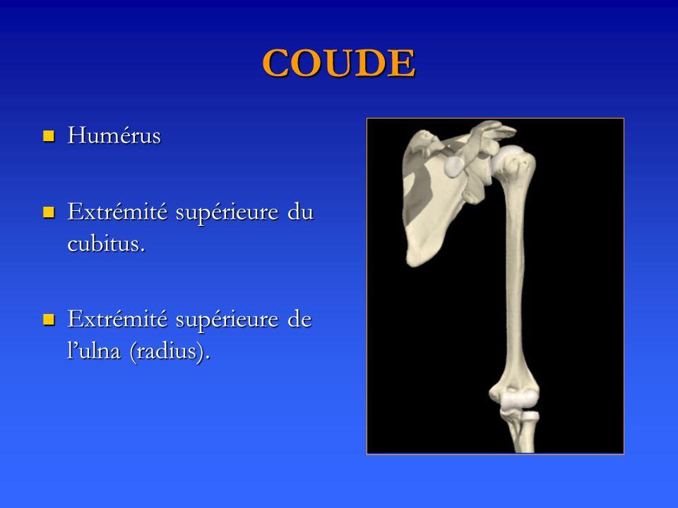 COUDE Humérus Humérus Extrémité supérieure du cubitus.