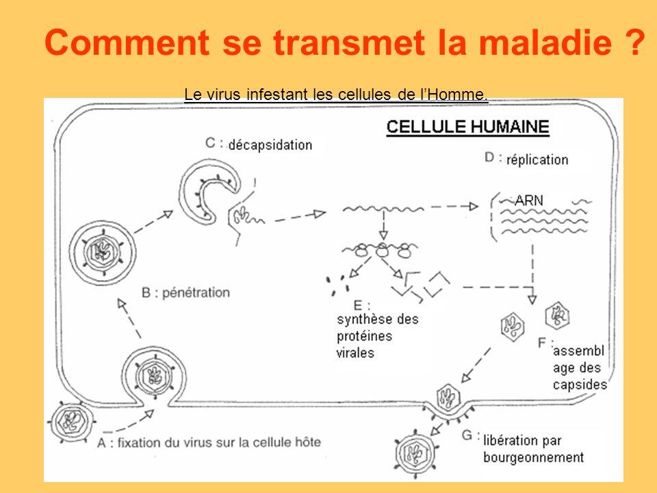 Comment se transmet la maladie ? Le virus infestant les cellules de lHomme.