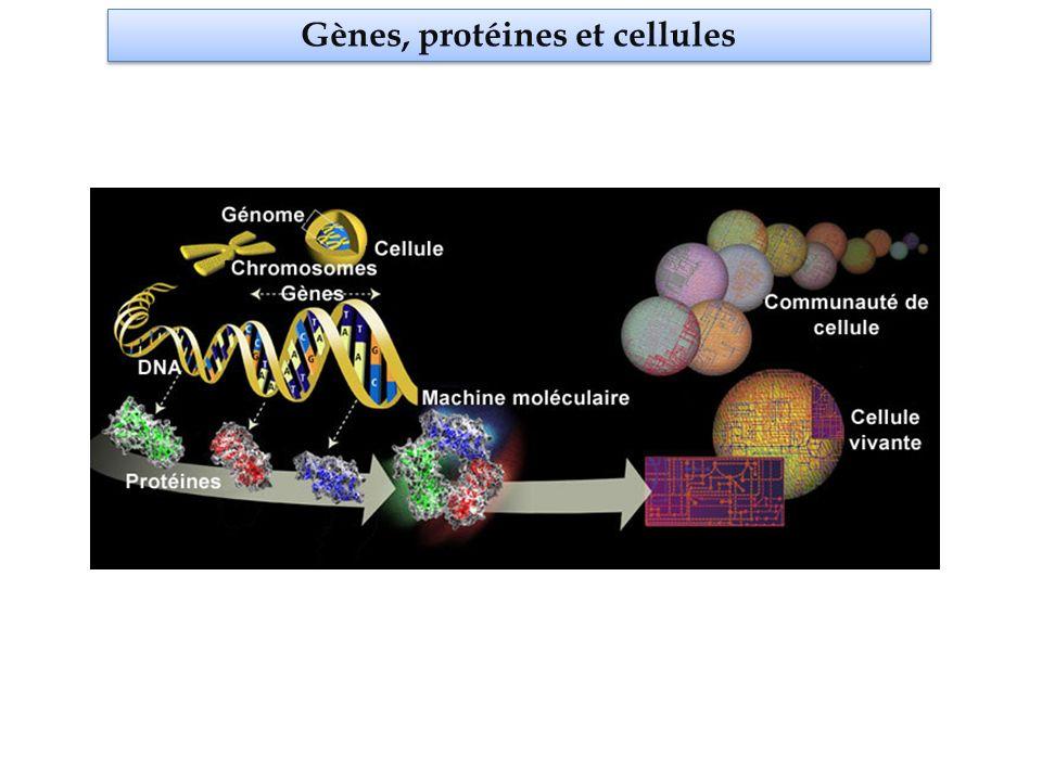 Protéines et maladies Une protéine anormale (mutée) ou absente peut être à lorigine dune maladie LA MAITRESSE NOUS DONNE BEAU DE DEVOIRS protéine Lamaazertyuioqsdfghjklmaitresswxcvbnenousdonnebeauaqwzsxedcdemlkjhgdevoirs chromosome muté Lamaazertyuioqsdfghjklmaitresswxcvbnenousdonnebeauaqwzsxedcdemlkjhgdevoirs gène la maitresse nous donne beau de devoirs exons Lanomalie dans la protéine résulte dune mutation dans le gène Lamaazertyuioqsdfghjklmaitresswxcvbnenousdonnebeauaqwzsxedccouptropdemlkjhgdevoirs chromosome