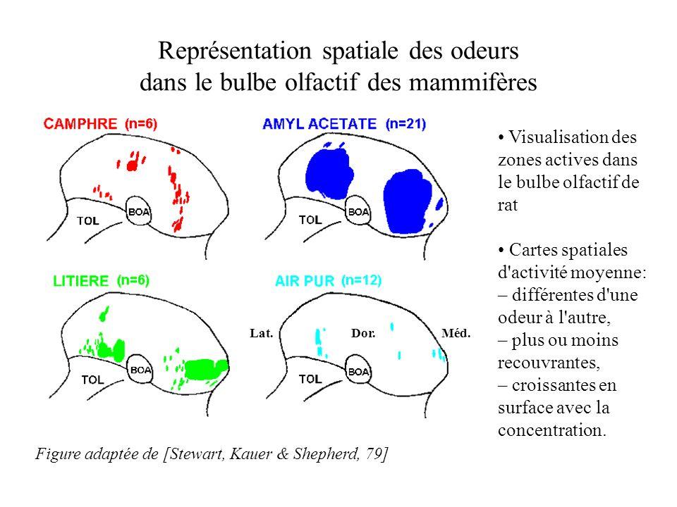 Visualisation des zones actives dans le bulbe olfactif de rat Cartes spatiales d'activité moyenne: – différentes d'une odeur à l'autre, – plus ou moin