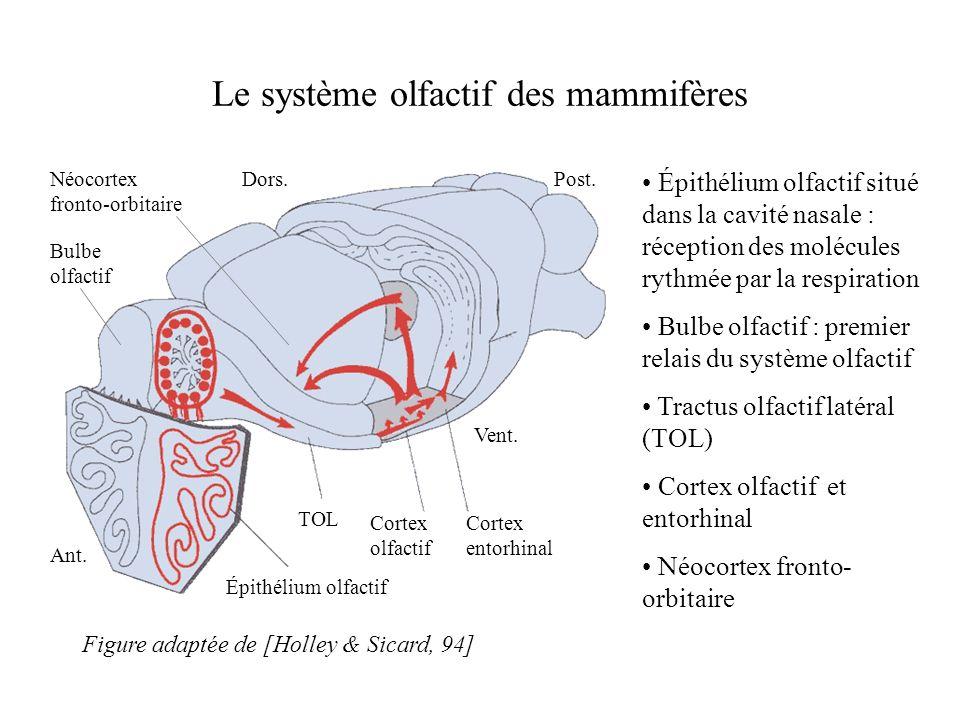 Le système olfactif des mammifères Épithélium olfactif situé dans la cavité nasale : réception des molécules rythmée par la respiration Bulbe olfactif