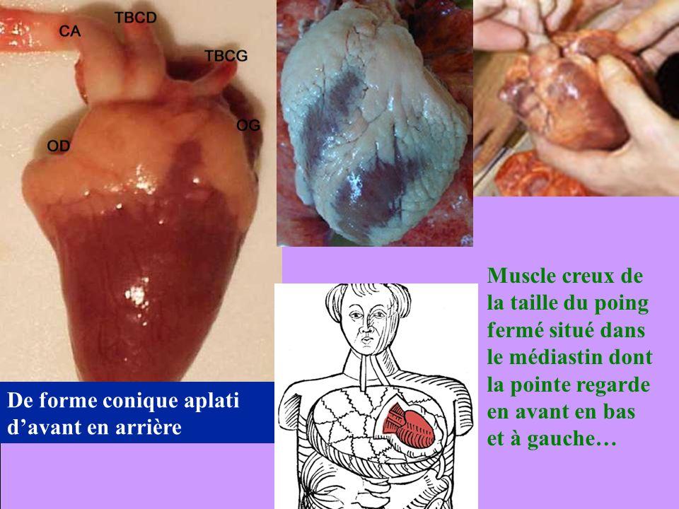 Muscle creux de la taille du poing fermé situé dans le médiastin dont la pointe regarde en avant en bas et à gauche… De forme conique aplati davant en