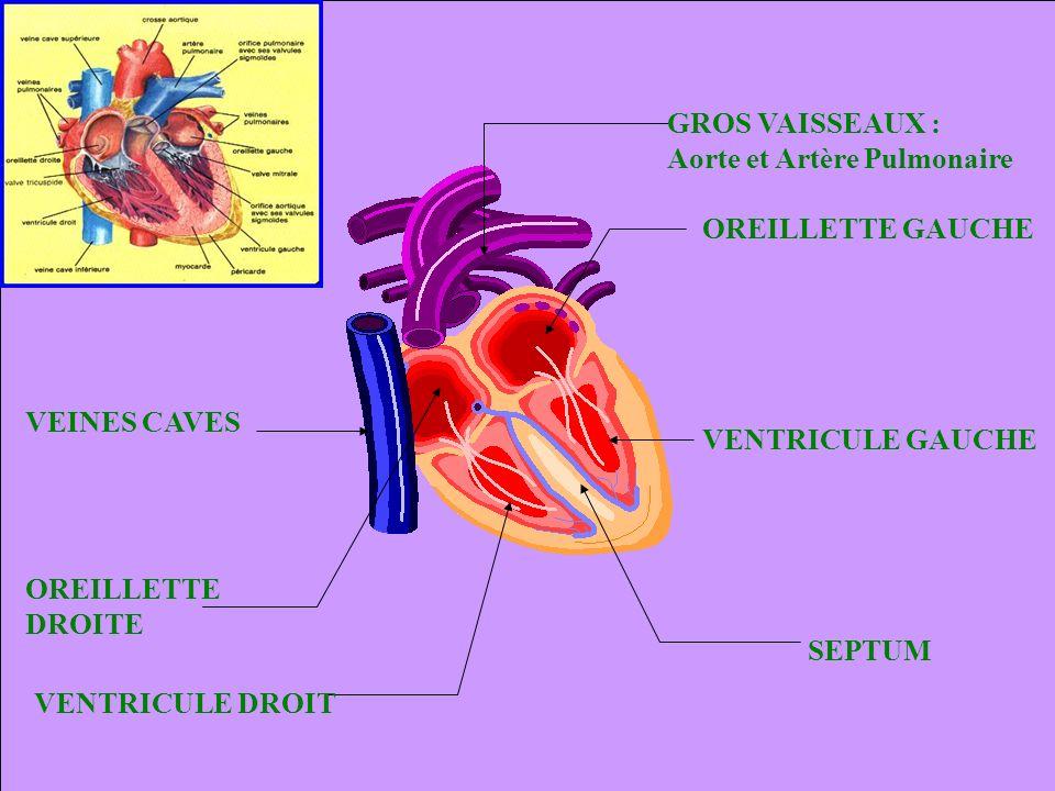 Le cœur droit Le cœur gauche Le cœur droit envoie du sang peu oxygéné et riche en CO2 vers la petite circulation pulmonaire.
