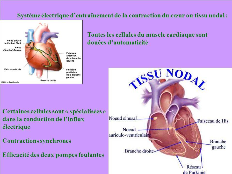 Système électrique dentraînement de la contraction du cœur ou tissu nodal : Contractions synchrones Toutes les cellules du muscle cardiaque sont douée
