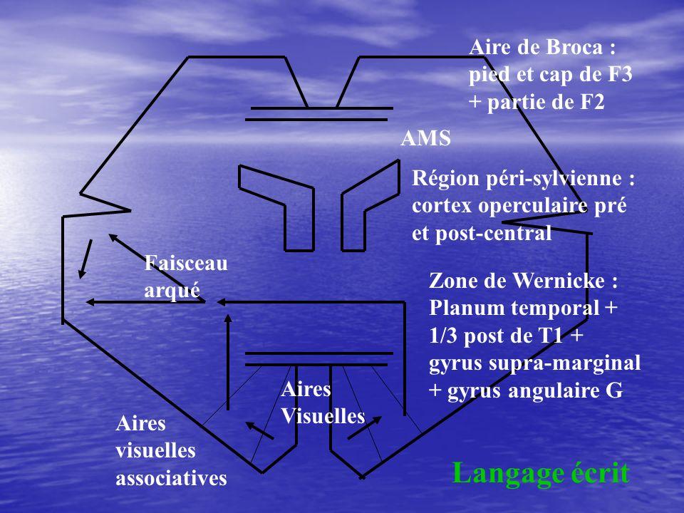 Aires Visuelles Zone de Wernicke : Planum temporal + 1/3 post de T1 + gyrus supra-marginal + gyrus angulaire G Région péri-sylvienne : cortex opercula