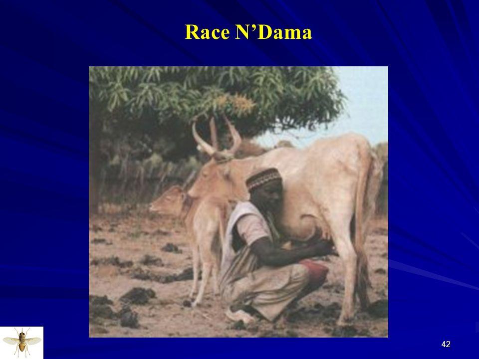 42 Race NDama