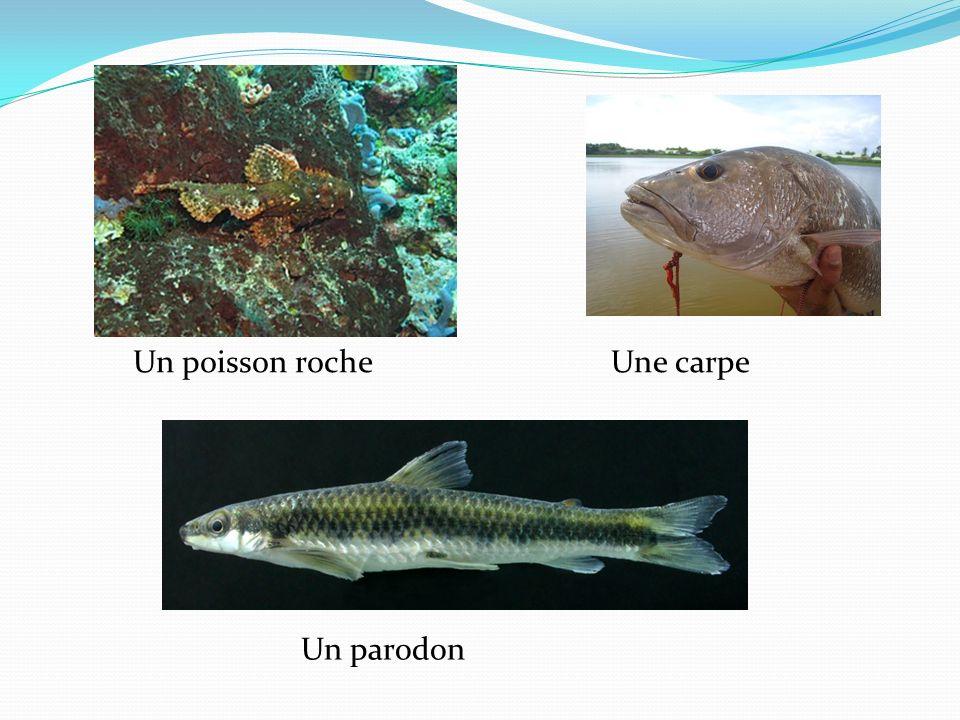 Un poisson rocheUne carpe Un parodon