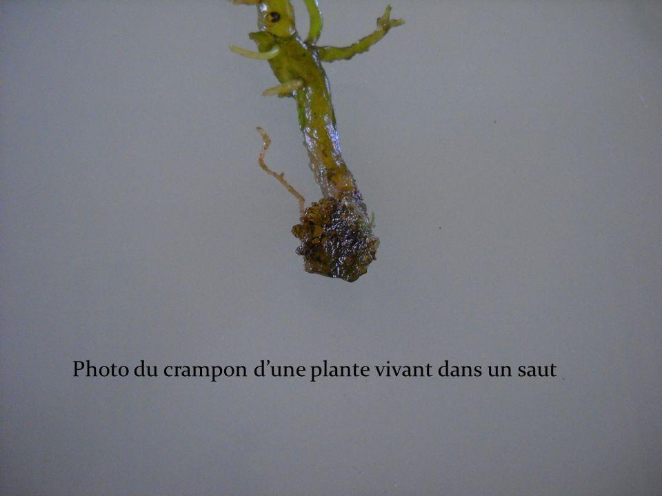 Photo du crampon dune plante vivant dans un saut
