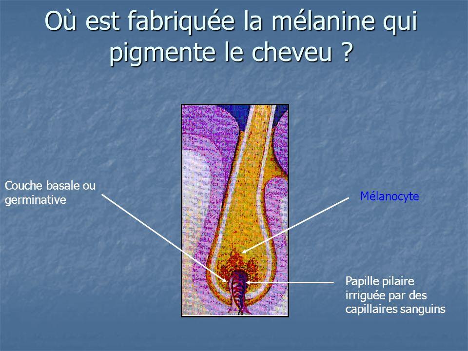 Où est fabriquée la mélanine qui pigmente le cheveu ? Couche basale ou germinative Papille pilaire irriguée par des capillaires sanguins Mélanocyte