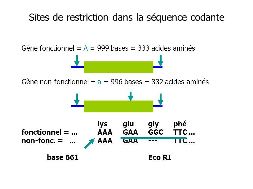 Sites de restriction dans la séquence codante Gène fonctionnel = A = 999 bases = 333 acides aminés Gène non-fonctionnel = a = 996 bases = 332 acides a