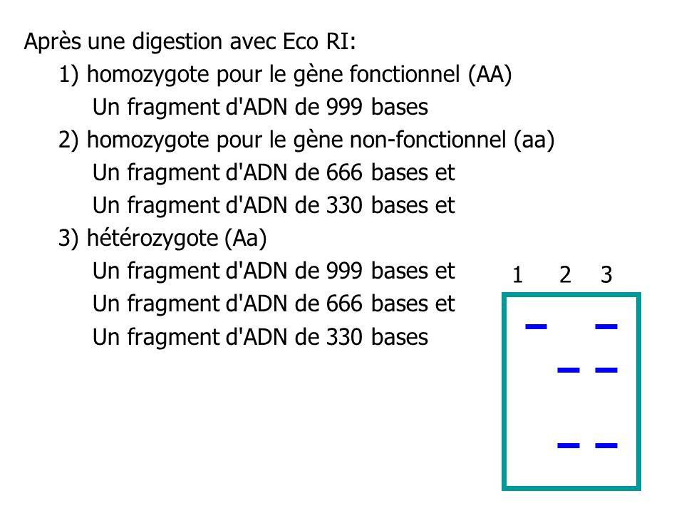 Après une digestion avec Eco RI: 1) homozygote pour le gène fonctionnel (AA) Un fragment d'ADN de 999 bases 2) homozygote pour le gène non-fonctionnel