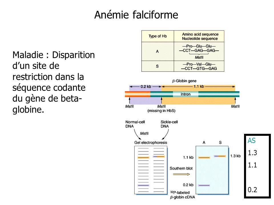 Anémie falciforme Maladie : Disparition dun site de restriction dans la séquence codante du gène de beta- globine. AS 1.3 1.1 0.2