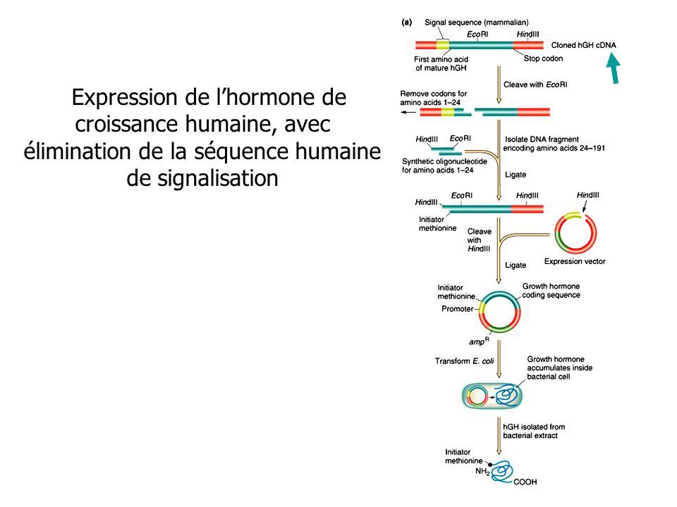 Expression de lhormone de croissance humaine, avec élimination de la séquence humaine de signalisation
