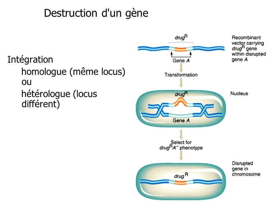 Intégration homologue (même locus) ou hétérologue (locus différent) Destruction d'un gène