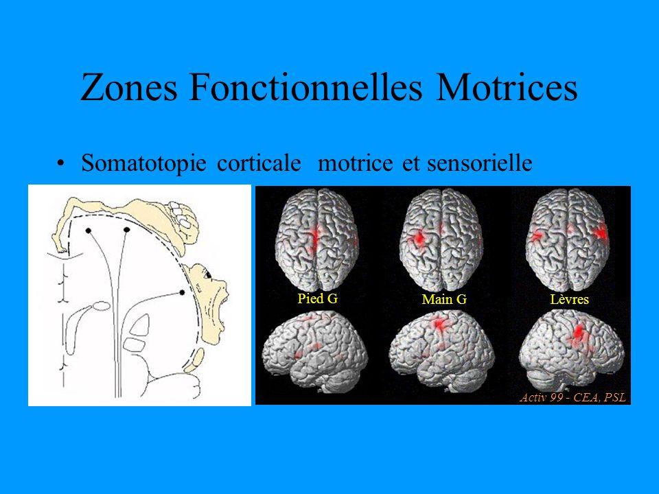 Zones Fonctionnelles Motrices Main GLèvres Pied G Activ 99 - CEA, PSL Somatotopie corticale motrice et sensorielle