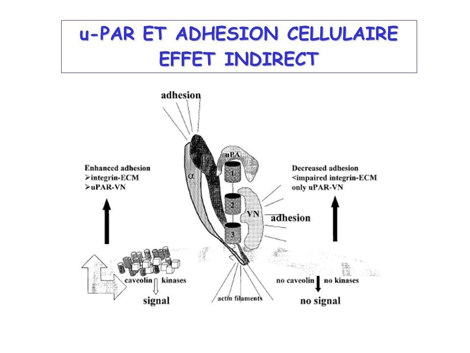 u-PAR ET ADHESION CELLULAIRE EFFET INDIRECT