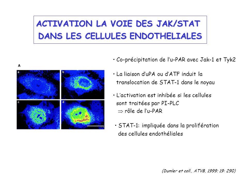 ACTIVATION LA VOIE DES JAK/STAT DANS LES CELLULES ENDOTHELIALES (Dumler et coll., ATVB, 1999; 19: 290) STAT-1: impliquée dans la prolifération des cel