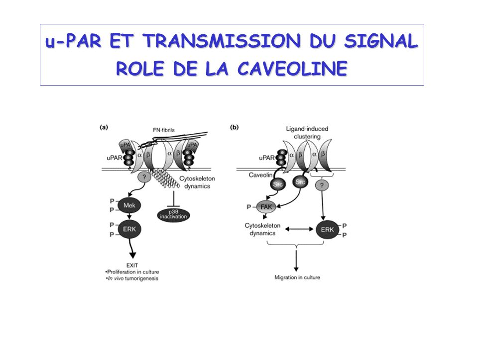 u-PAR ET TRANSMISSION DU SIGNAL ROLE DE LA CAVEOLINE