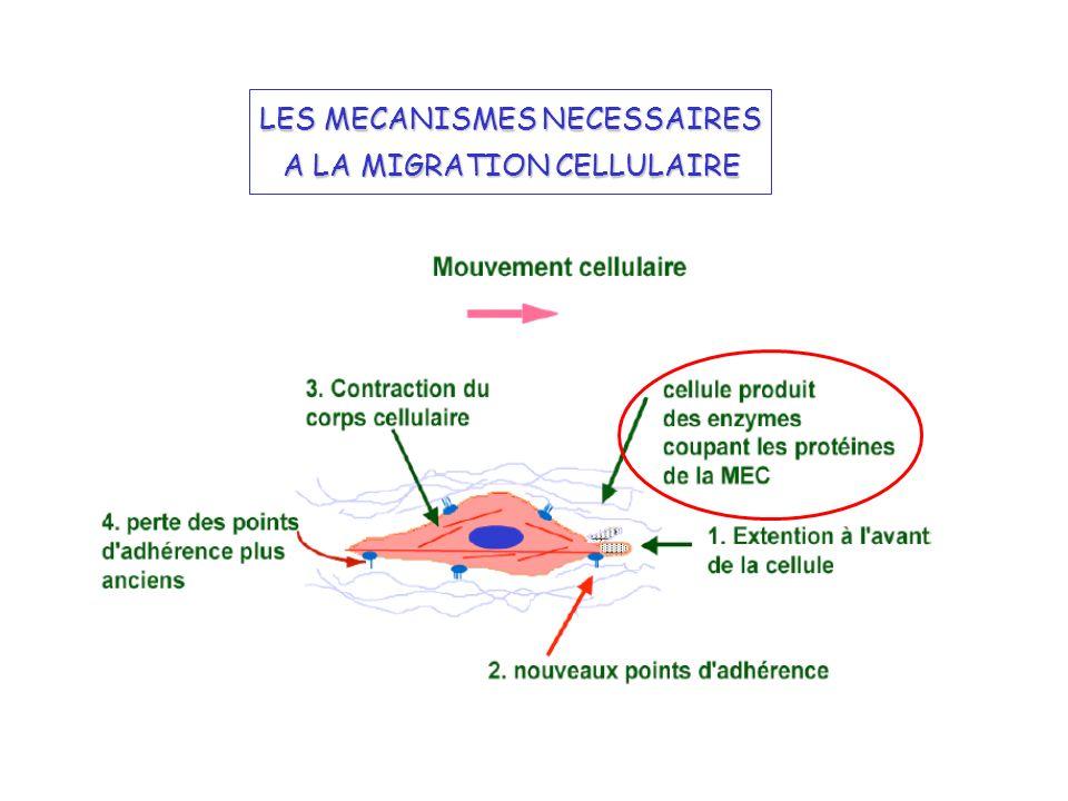 Les phases dinitiation de langiogénèse: 1- Augmentation de la perméabilité vasculaire et dépôt extravasculaire de fibrine 2- Dissociation de la structure du vaisseau 3- Dégradation de la membrane basale 4- Migration des cellules endothéliales et invasion de la MEC 5- Prolifération des cellules endothéliales 6- Formation de la lumière capillaire MIGRATION CELLULAIRE ET ANGIOGÉNÈSE