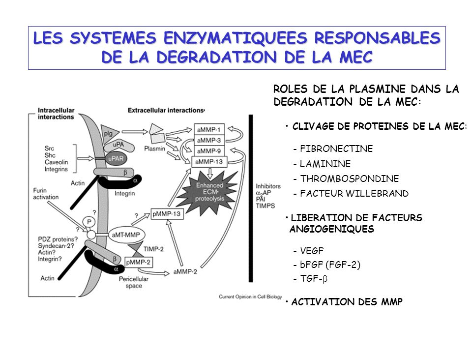 LES SYSTEMES ENZYMATIQUEES RESPONSABLES DE LA DEGRADATION DE LA MEC CLIVAGE DE PROTEINES DE LA MEC: - FIBRONECTINE - LAMININE - THROMBOSPONDINE - FACT