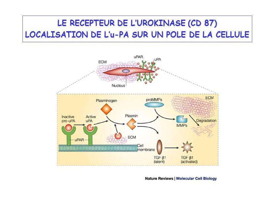 Glycoprotéine de 55 kDa, fortement glycosylée, ancrée dans la membrane par un glycophosphatidyl inositol 3 fonctions: - localisation de luPA sur la membrane cellulaire (AA 1-48; AA 136-143) - fixation de la vitronectine - clairance de luPA STRUCTURE DU RECEPTEUR DE LUROKINASE (Blasi & Carmeliet, 2002; 3: 932) Activité chimiotactique Mobilité