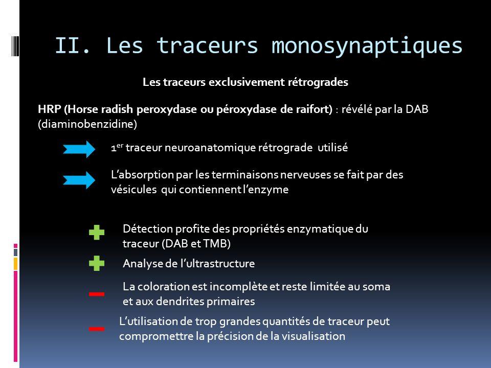 II. Les traceurs monosynaptiques Les traceurs exclusivement rétrogrades HRP (Horse radish peroxydase ou péroxydase de raifort) : révélé par la DAB (di