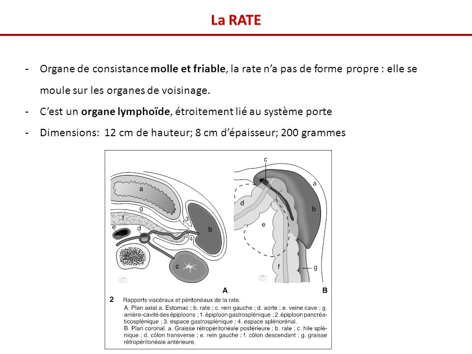 La RATE -Organe de consistance molle et friable, la rate na pas de forme propre : elle se moule sur les organes de voisinage.