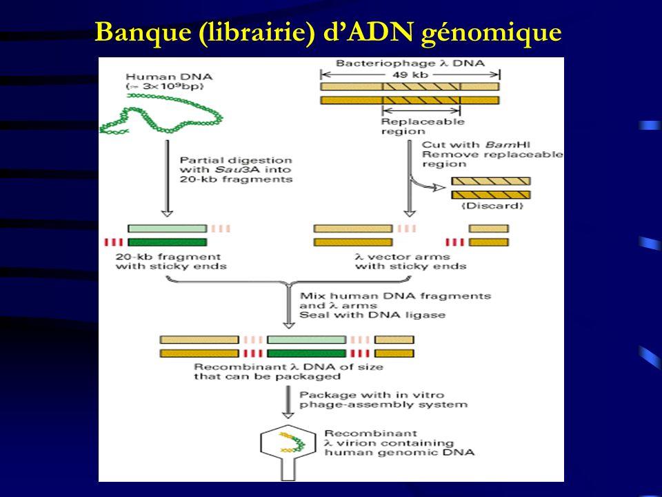 Banque (librairie) dADN génomique