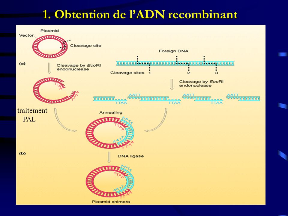 1. Obtention de lADN recombinant + traitement PAL