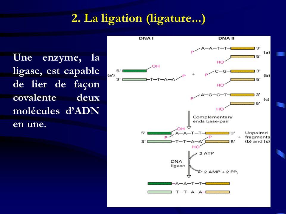 2. La ligation (ligature...) Une enzyme, la ligase, est capable de lier de façon covalente deux molécules dADN en une.