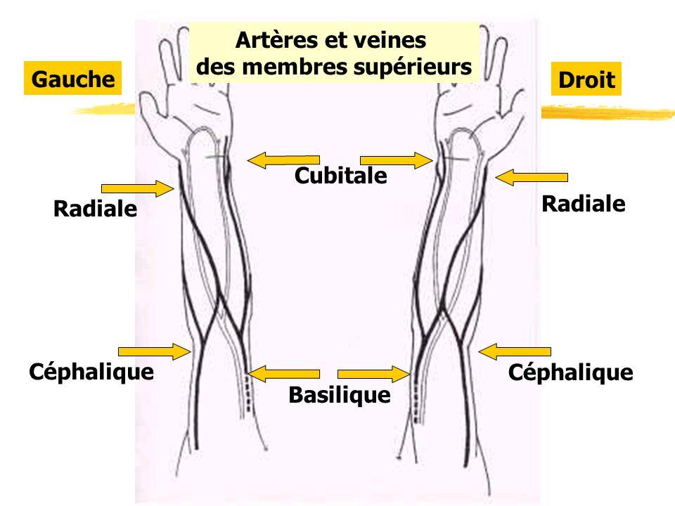Droit Gauche Cubitale Basilique Radiale Céphalique Artères et veines des membres supérieurs