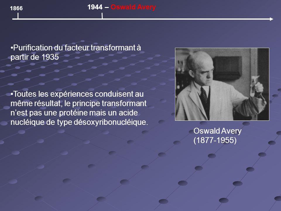 Oswald Avery (1877-1955) 1866 1944 – Oswald Avery Purification du facteur transformant à partir de 1935 Toutes les expériences conduisent au même résultat, le principe transformant nest pas une protéine mais un acide nucléique de type désoxyribonucléique.
