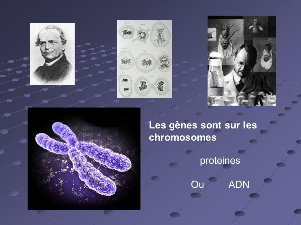 Les gènes sont sur les chromosomes proteines Ou ADN