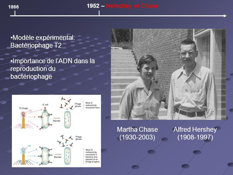 1866 1952 – Herschey et Chase Martha Chase (1930-2003) Alfred Hershey (1908-1997) Modèle expérimental: Bactériophage T2 Importance de lADN dans la reproduction du bactériophage