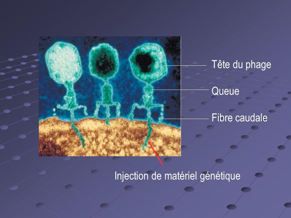 Injection de matériel génétique Tête du phage Queue Fibre caudale