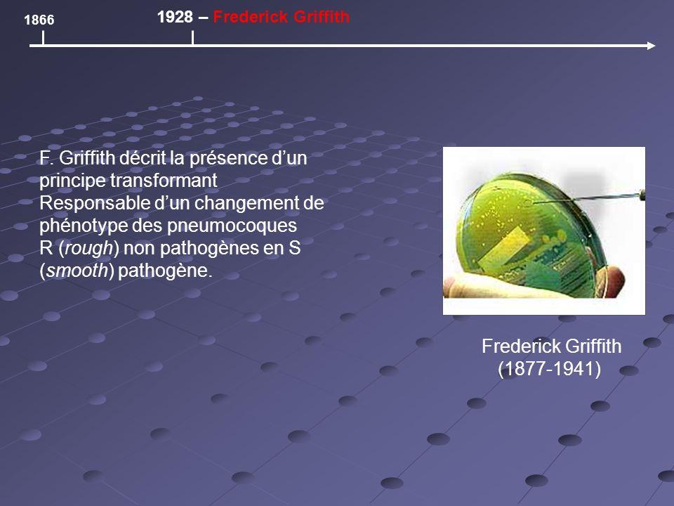 1866 1928 – Frederick Griffith Frederick Griffith (1877-1941) F. Griffith décrit la présence dun principe transformant Responsable dun changement de p